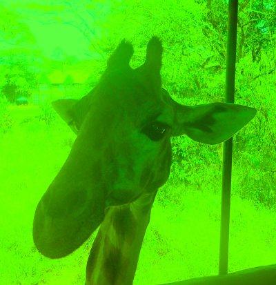 giraffe hit me